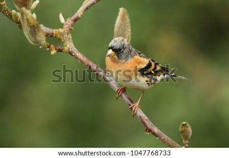 A stunning male Brambling, Fringilla montifringilla, perched on the branch of a Magnolia tree.