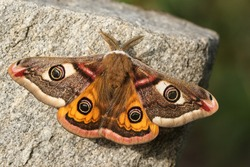 A stunning male Emperor Moth, Saturnia pavonia, perching on a rock in springtime.