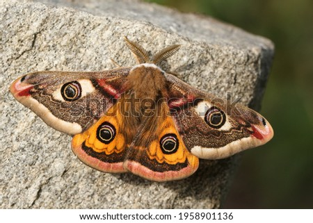 A stunning male Emperor Moth, Saturnia pavonia, perching on a rock in springtime.  Сток-фото ©
