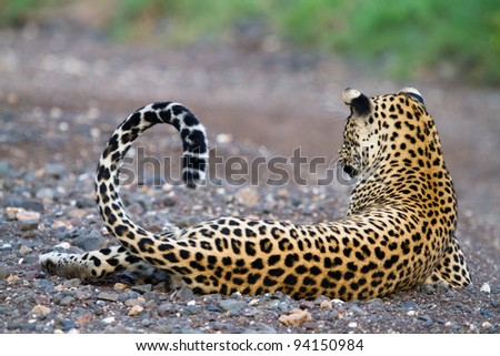 A stunning pose of a male leopard lying in a dry riverbed