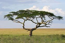 A stunning umbrella-shaped thorn tree in the Serengeti