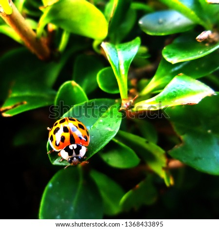 A stylised high contrast picture of a ladybird/ladybug amongst leaves. Not really macro but a shallow depth of field has thrown the background out of focus.