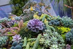 A succulent garden in a conservatory  with variety of cactus at the flower dome at Gardens by the bay