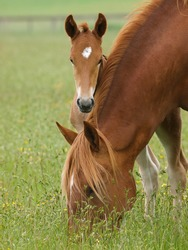 A Suffolk Punch foal peeps out from behind his mother neck.