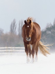 A Suffolk Punch horse in a paddock of deep snow in the winter.