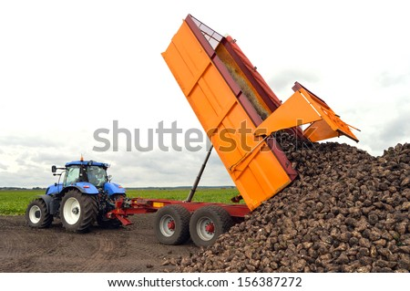 A sugar beet harvest in progress - Tractor and trailer unload sugar beets