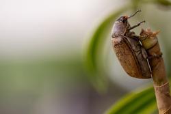 A sugarcane white grub or Lepidiota stigma climbing the trunk of a dracaena, concept of animals as pests