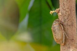 A sugarcane white grub or Phyllopoga Postanceensis crawls on a bilimbi tree branch, for nature, food, and animal concept