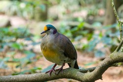 a Sulawesi ground dove (Gallicolumba tristigmata) is a medium-sized, approximately 35 cm long, olive-brown ground dove with golden forehead, yellow breast, red legs.