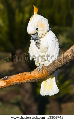 A sulphur-crested cockatoo looking shy