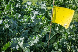 A summer brassica grown for its regrowth potential and multiple grazings, contains yellow sticky traps to enable the farmer to monitor the insect pests. Canterbury, New Zealand