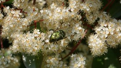 a summer chafer insect sitting on a white flower in the sun closeup