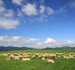 A Summer landscape and herd sheep in Poland