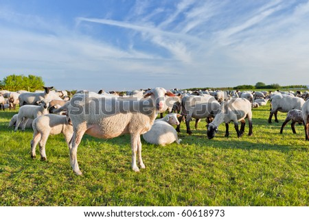 A summer landscape and herd sheep  in the netherlands - stock photo
