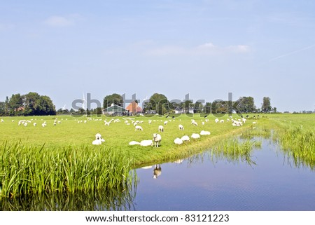 A summer landscape and herd sheep in the Netherlands