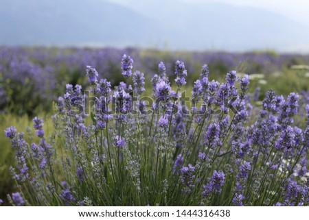 A summer picture of a lavender field