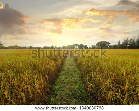 A summer sunset over natural gold rice field. #1340030798