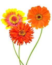 A summer zinnia flower branches isolated on white background