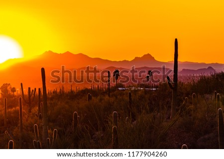 A sun drenched sunset with palm trees, saguaro cacti, ocotillo gently backlit. A golden sky is met by hazy purple, red, orange and yellow light bathing the Sonoran desert landscape. Tucson, Arizona.