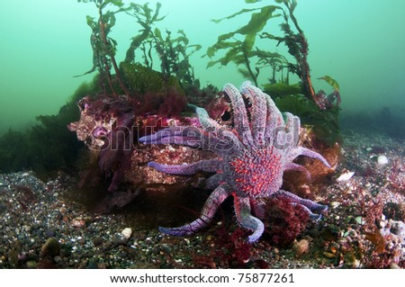 A sun flower sea star climbs a rock.
