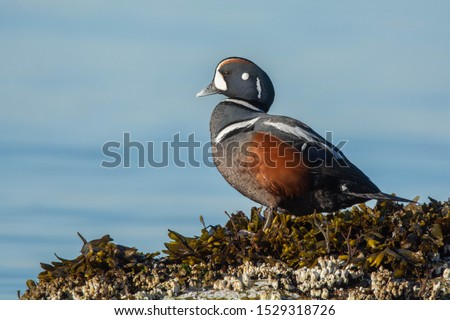A sun-kissed harlequin duck drake in a classic pose.