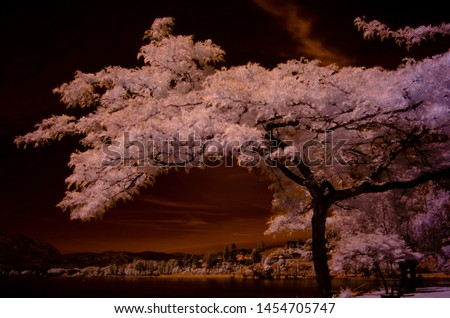 A sunburst honey loctus tree overlooking the bay and foreshore, shot in infrared color, renders its leaves white the sky and water of the bay dark with orange clouds #1454705747