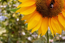 A Sunflower Bee walks around the outer edge of the green disk floret of a Sunflower's bright yellow bloom. High quality photo