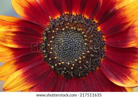 a sunflower in a late summer garden, Berlin. #217511635