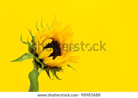A sunflower on a yellow background - sunflowers are said to symolise adoration, loyalty, hope, power and warmth.