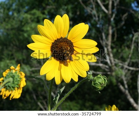 A sunflower with a bee in the middle