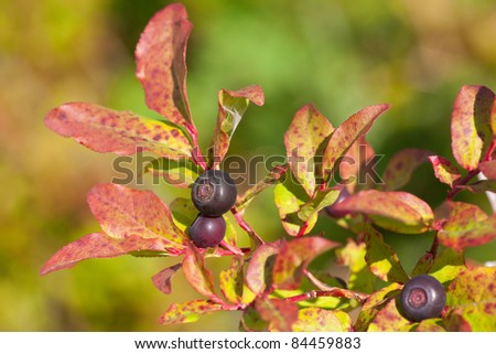 A Sunny Closeup of Native, Wild Huckleberries  at the Beginning of Fall with the Leaves Changing Colors in the United States Pacific Northwest. - stock photo
