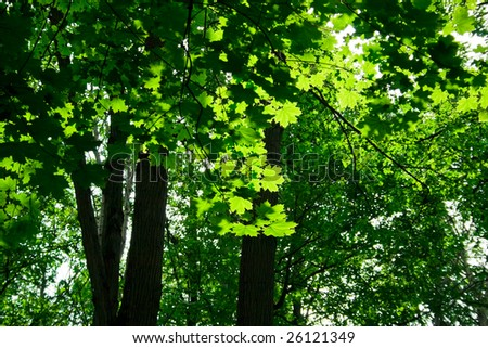 A sunny day in the forest with maple trees