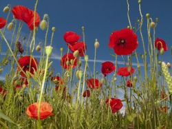 A sunny summer day in a Danish meadow full of blooming poppies.