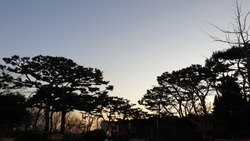 a sunset and pine trees