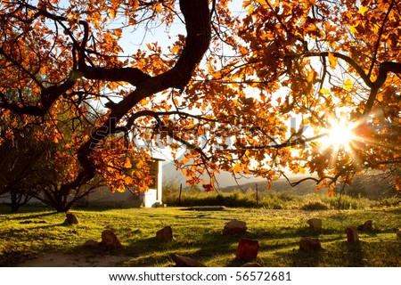 A sunset behind a large autumn tree