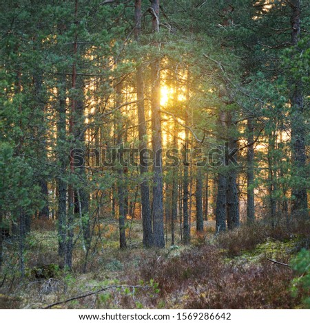 A sunset through the trees in the forest in Latvia. Common forest in Baltic states. Stock fotó ©