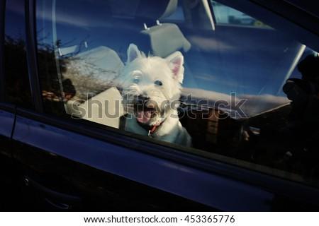 A super cute dog in the car