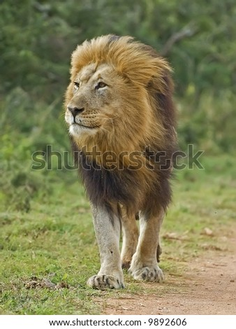 A superb Male Lion walks right up to my camera