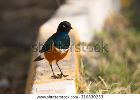 A superb starling with brilliant blue, whie and orange feathers is perched on a yellow striped kerb beside the road. On the right is a grass verge. Foto stock ©
