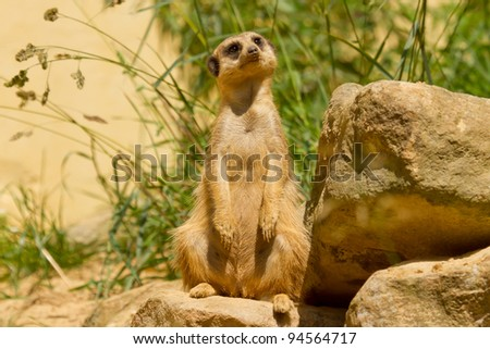 A suricata on the watch