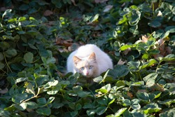 A surprised white cat with blue eyes is sitting in a strawberry Bush