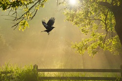 A surreal looking misty foggy sunrise in the back garden with a raven in flight.