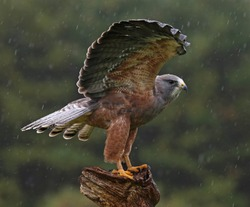 A Swainson's Hawk (Buteo swainsoni) with wings spread in the air.