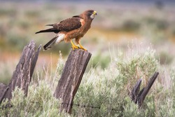 A Swainson's Hawk Landscape on a Rainy Sierra Valley Day