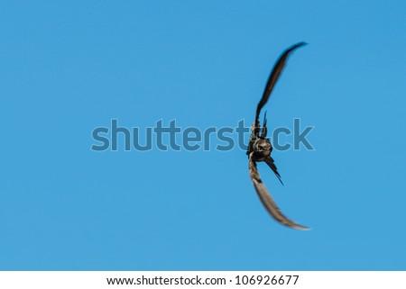 A swallow flying sideways against a blue sky