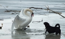 A swan and a dog fighting on the ice of the Danube river in Hungary.