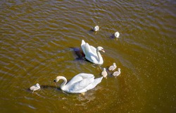 A swan couple with their nestling in a pond. White swan family in water. Happy swan family in water