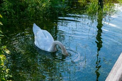 A swan dives its head into the water and seeks to eat something