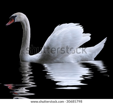 A swan isolated on black background