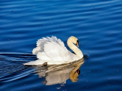 A Swan naturally gliding through the water